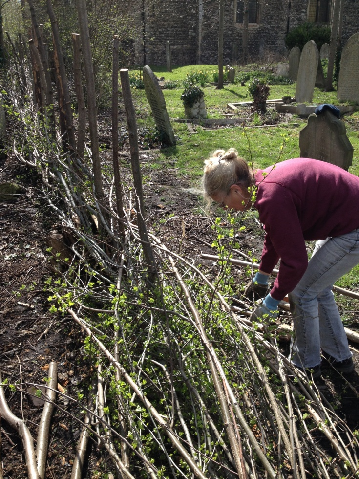 Colour photo of a volunteer hedge laying at East Ham nature reserve